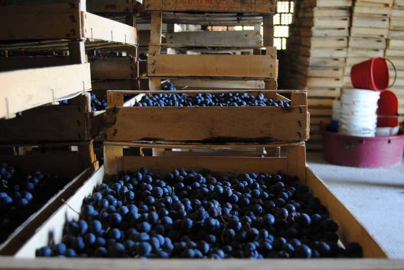 vernaccia di serrapetrona grapes