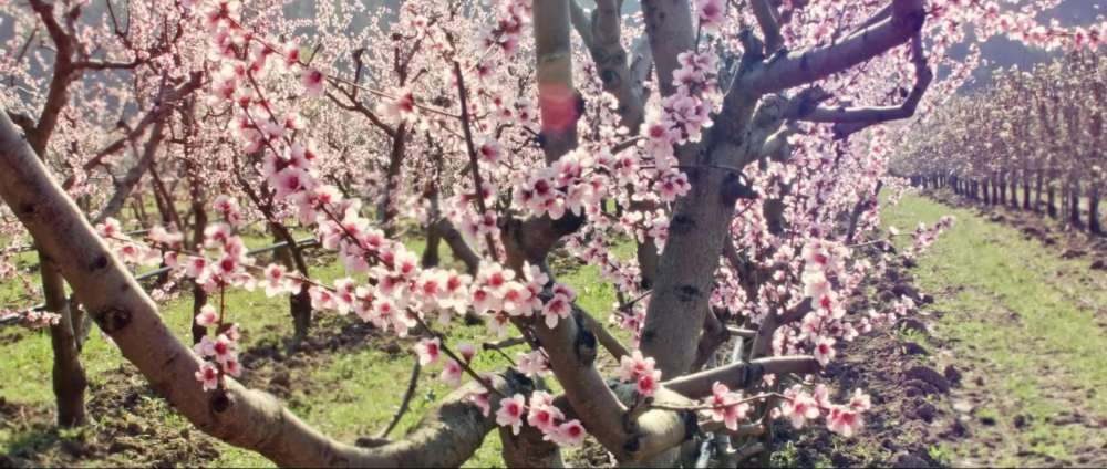 le marche tours peach blossoming