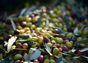 olive oil farmhouse for sale marche